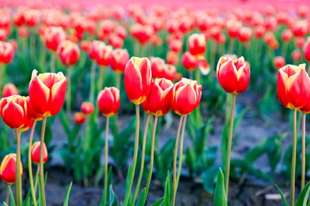 skagit: Red tulips with beautiful bouquet background. Tulip. Beautiful bouquet of tulips. colorful tulips. tulips in spring,colourful tulip