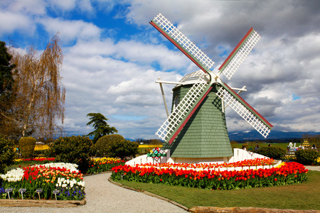 skagit: Mount Vernon, WA USA - April 21, 2011: Tulip Farm. Skagit Valley Tulip Festival attracts lots of visitors from all over the country.
