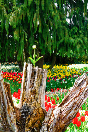 skagit: White tulip growing from the stump? Field of beautiful colorful tulips in Roozengaarde. Nice landscape