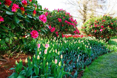 skagit: Tulip. Beautiful bouquet of tulips. colorful tulips. tulips in spring,colourful tulip