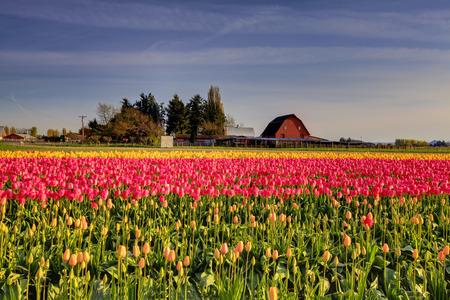Rode gele tulpen op het bed in Roozengaarde. Blauwe lucht