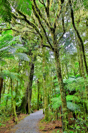 walking trail: Walking trail in the rain forest of Westland National Park, South Island, New Zealand