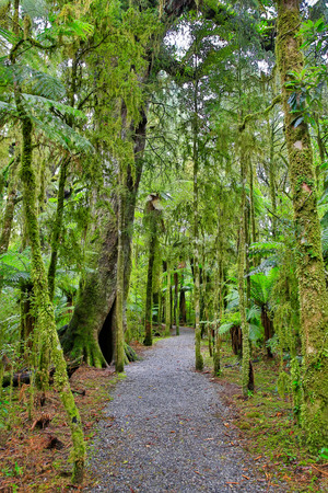 westland: Walking trail in the rain forest of Westland National Park, South Island, New Zealand