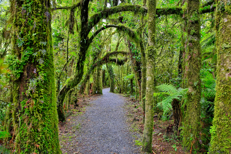 Walking trail in the rain forest of Westland National Park, South Island, New Zealand