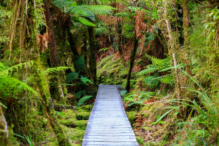 Wooden walkway in the rain forest. Sinking in mossy trees and numerous ferns. Haast, West Coast, New Zealand, Stock Photo