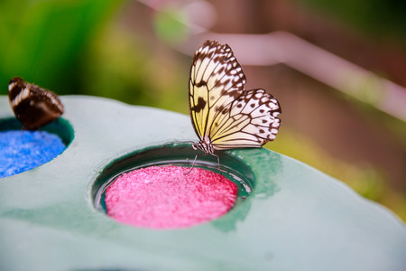 scrubbers: DUNEDIN, NEW ZEALAND - FEBR 10, 2015: butterflies eating from a plate with pink and blue plastic scrubbers in Larnach castle