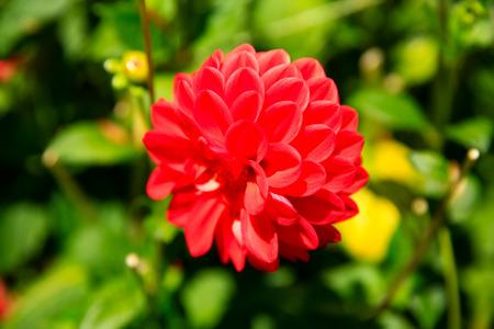 botanic: Closeup of red dahlia flower in full bloom in in Christchurch Botanic Garden. New Zealand
