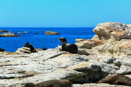 colony: wild seal at Seal colony coastal in Kaikoura, New Zealand.