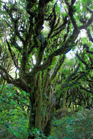 gnarled: Rain forest with trailing moss and gnarled trees, Egmont National Park, Taranaki, North Island, New Zealand Stock Photo
