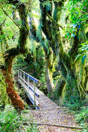 trailing: Rain forest with trailing moss and gnarled trees, Egmont National Park, Taranaki, North Island, New Zealand Stock Photo