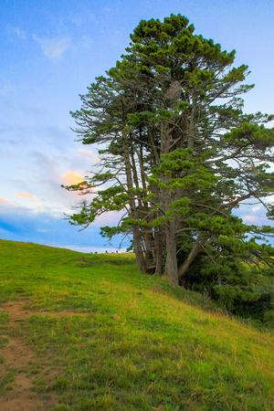 egmont: Large pine tree on Taranaki mountain slope, New Zealand.
