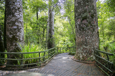 Hike trail through tall New Zealand trees forest with lots of moss and greenery. Kauri Forests with giant tree. Puketi Forest