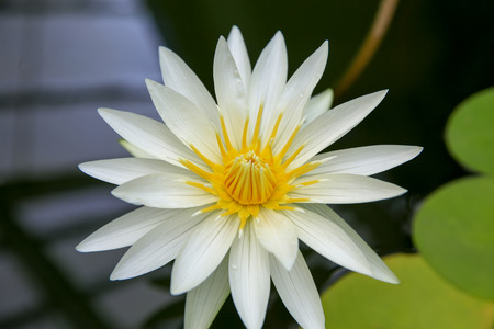 centred: Cream white yellow centred water lily flower and lily pads Nymphaea in a pond. New Zealand Stock Photo