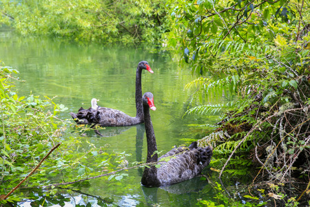 cygnet: Two beautiful Black Swans, Lake Taupo, New Zealand.