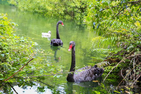 cygnus atratus: Two beautiful Black Swans with little gray cygnet, Lake Taupo, New Zealand. Stock Photo