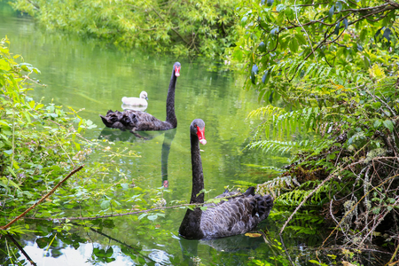 Two beautiful Black Swans with little gray cygnet, Lake Taupo, New Zealand. Stock Photo