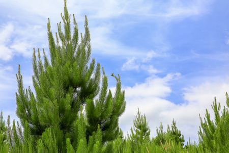 blue green background: Green pine trees and blue sky background