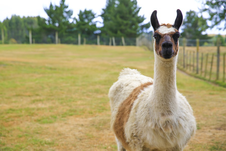 Lama portrait on green natural outdoor background.
