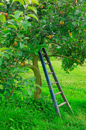 leaned: New Zealand apples on the tree waiting to be picked. Apple season. And Wooden ladder leaned on the tree.