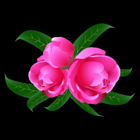 Three pink peony with leaves on a black background Vector