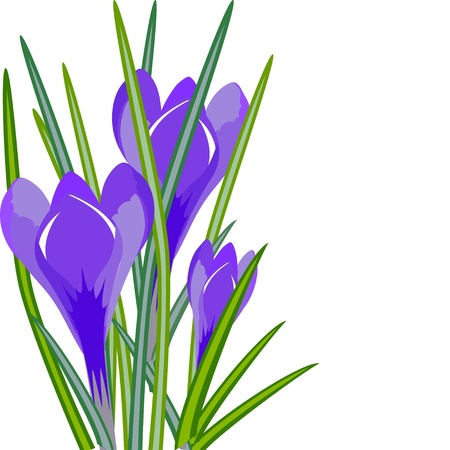 Spring flowers crocuses isolated on white background. Vector illustration