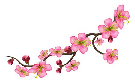 Sakura detailed branch of cherry blossoms. A curved stem with delicate flowers and buds isolated on white background. Vector illustration Vector Illustratie