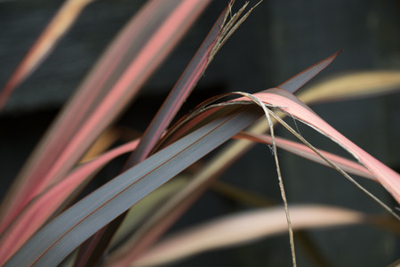 new zealand flax: Multicolored leaves of New Zealand flax