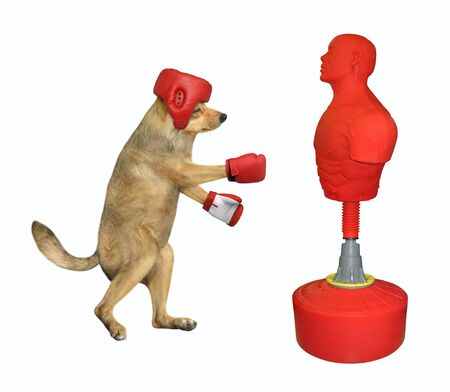 The dog boxer in a red boxing helmet and gloves is hitting the punching bag that looks like a man. White background. Isolated.