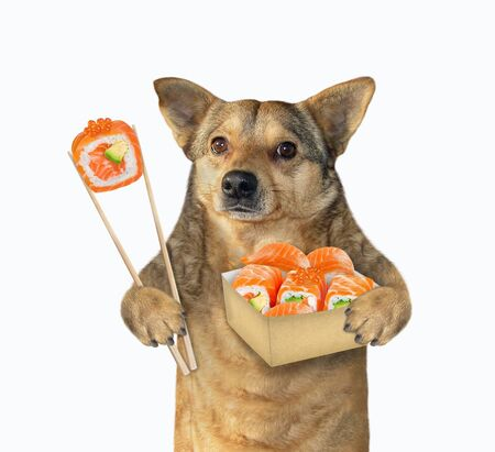 The beige dog is eating sushi with red caviar using chopsticks from a paper box. White background. Isolated.