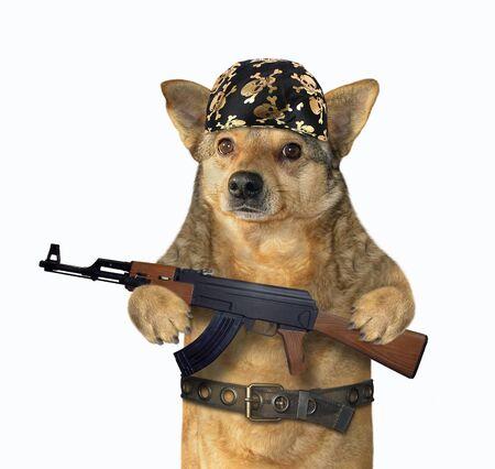 The beige dog gangster in a black bandana and a steel belt holds a machine gun Kalashnikov AK-47. White background. Isolated.