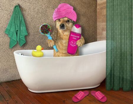 The beige dog with a pink towel around his head is taking a bath. It holds a hairbrush and a bottle of shampoo.