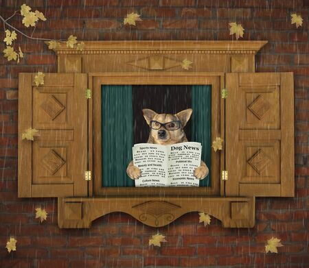 The beige dog in glasses with a newspaper is looking through the open wooden window with shutters. The leaves falls. Its raining outside. Autumn mood.