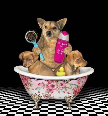The beige dog bathes two puppies in a luxury bathtub. It holds a bottle of shampoo and a hairbrush. Black background.