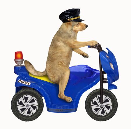The dog policeman in a black cap is riding a blue motorbike. White background. Isolated. Stock Photo