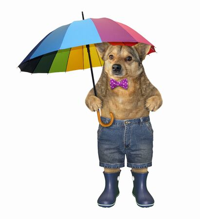The dog in a bow tie, shorts and blue rubber boots is holding a color umbrella. White background. Isolated.