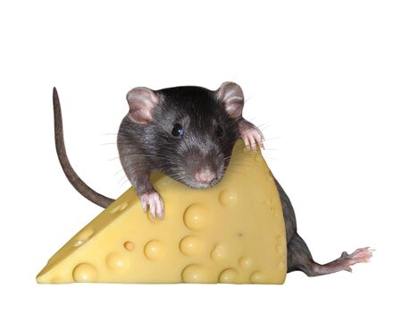 The pet rat is hugging a big piece of cheese with holes. White background. Isolated.
