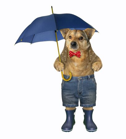 The dog in a red bow tie, shorts and blue rubber boots is holding a umbrella. White background. Isolated. Stock Photo