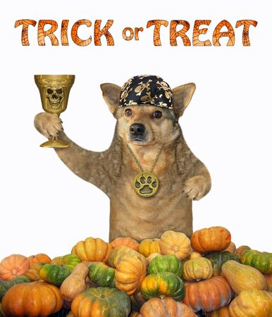 The dog in a locket and a bandana holds the golden cup in a pile of pumpkins. Trick or treat. White background. Isolated. Reklamní fotografie