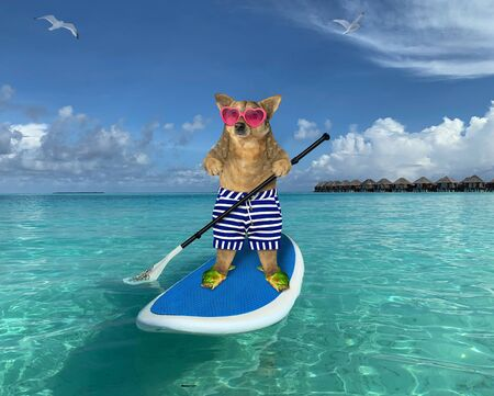 The beige dog in striped shorts, sea slippers and pink heart shaped sunglasses is on a stand up paddle board in the Maldives.