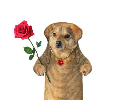 The beige dog with a red rose is wearing a pendant with a ruby and a gold ring. White background. Isolated.