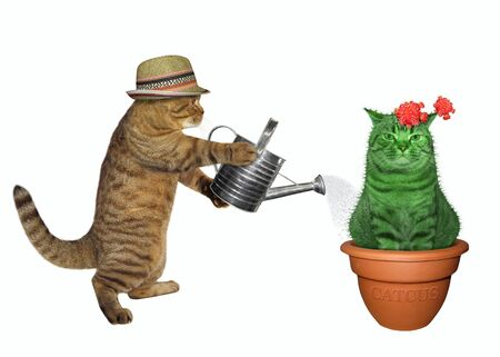 The beige cat gardener is watering the flowering cat cactus in a flower clay pot. White background. Isolated.