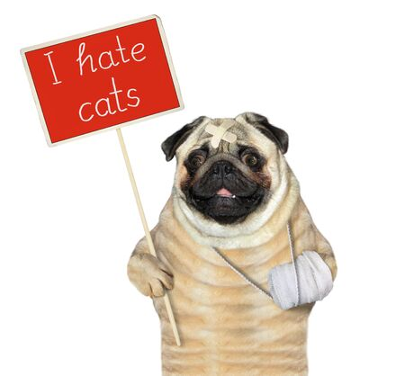 The dog pug with a broken leg is holding a red protest sign that says I hate cats. White background. Isolated. 版權商用圖片