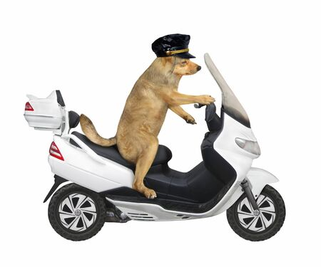 The beige dog in a black cap is riding a white motorbike. White background. Isolated.