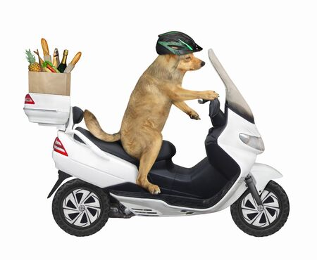 The beige dog in a helmet is riding a white motorbike. He delivers a box of groceries. White background. Isolated.