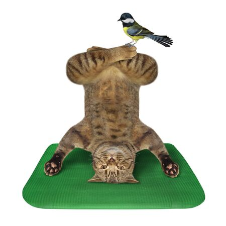 The beige cat athlete is doing yoga headstand exercise on a green fitness mat. A bird is sitting on his leg. White background. Isolated. Foto de archivo