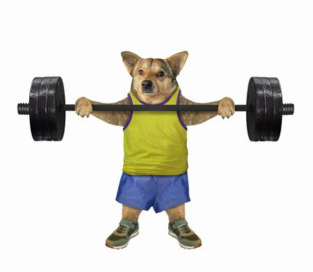 The beige dog athlete in sportswear is lifting a heavy barbell. White background. Isolated.