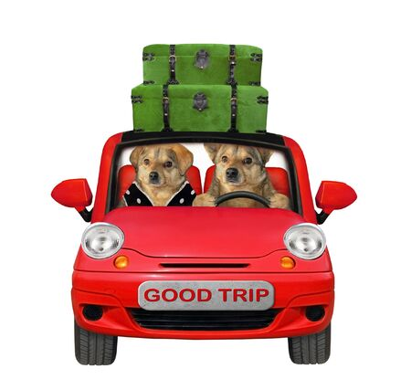 The couple of beige dogs are traveling in a red car. There are several green suitcases on a roof of this automobile. White background. Isolated.