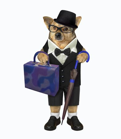 The beige dog in a black suit, a hat, shoes and glasses with a cane umbrella and a bag looks like a real gentleman. White background. Isolated. Stok Fotoğraf