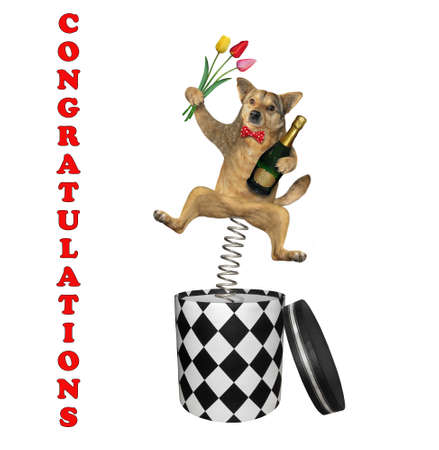 The beige dog in a red bow tie with a bottle of champagne and bouquet of flowers is jumping out of a round gift box. Congratulations. White background. Isolated. 免版税图像