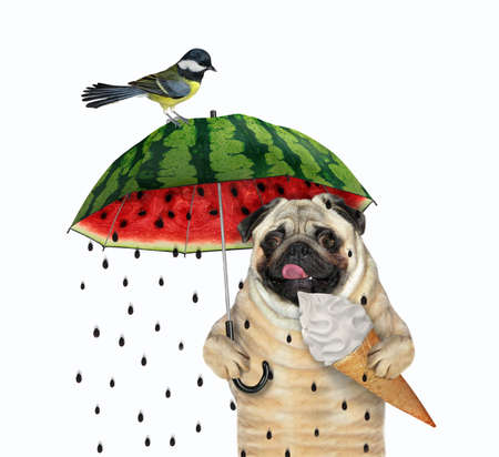 The pug dog with a cone of ice cream is walking under a watermelon umbrella. A bird is next to him. White background. Isolated. Imagens